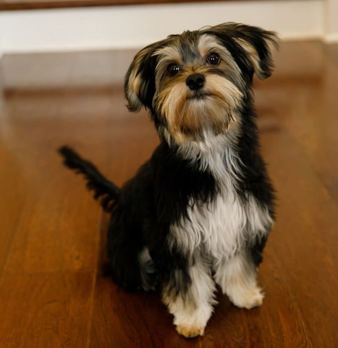 Black And White Morkie Did You Know The Appearance Of A Morkie Is