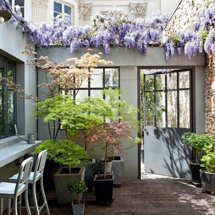 Love these Japanese Maples!! Steal This Look: Paris Patio with Wisteria and Japanese Maples | Gardenista