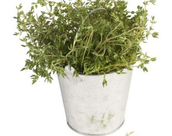 A Planting Guide for Red Creeping Thyme | eHow.com: Creeping Herbs, Thyme Thymus, Low Growing Plants, Plants Produce, Bush Stems, Rosemary Plants, Culinary Herbs, Creeping Thyme,  Flowerpot