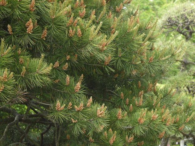1月31日の誕生日の木は「ハクショウ(白松)」です。  マツ科マツ属の常緑高木。原産地は中国です。日本へは、江戸時代から大正時代に園芸品種として渡来したといわれています。中国では王宮、寺院などに多く植えられているそうですが、日本ではあまり見られず、各地の植物園や庭園などに植栽されています。 樹形は円錐形で、樹高は20m~30m。葉は針状で、3本が対になった三葉松です。開花期は4~5月ころ。淡黄緑色の花を咲かせます。球果は長さ5cm~7cmの卵型で、翌年の10月ころに熟します。 名前の由来は、成木になると滑らかで光沢のある灰緑色から淡灰色の樹皮が不規則な鱗片状にはがれ、白い肌がまだらに現れることに由来します。中国名は白皮松。