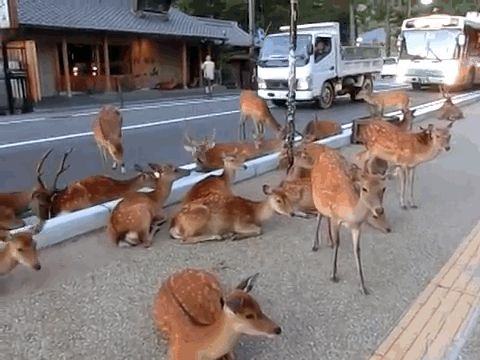 Thousands Of Wild Deer Rule The Streets Of Japanese City