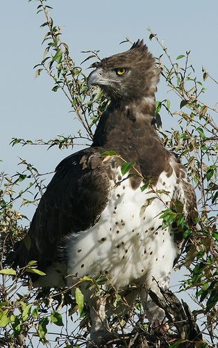 Largest African Eagle: Kenya  - Explore the World with Travel Nerd Nici, one Country at a Time. http://TravelNerdNici.com