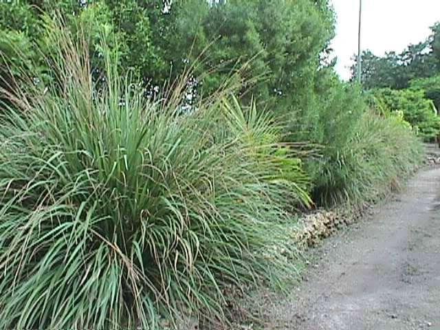 Fakahatchee Grass Grass Plants Shrubs