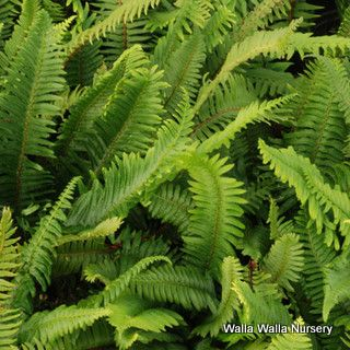 17 Best Images About Sword Fern On Pinterest Water