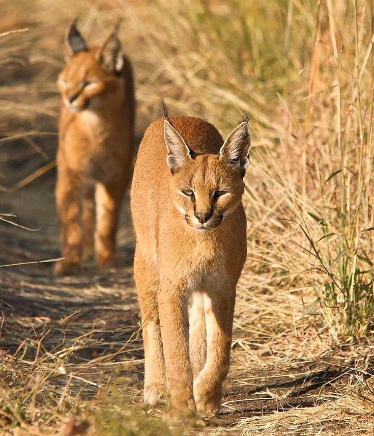 The caracal, (also known as a desert lynx,) are famed for