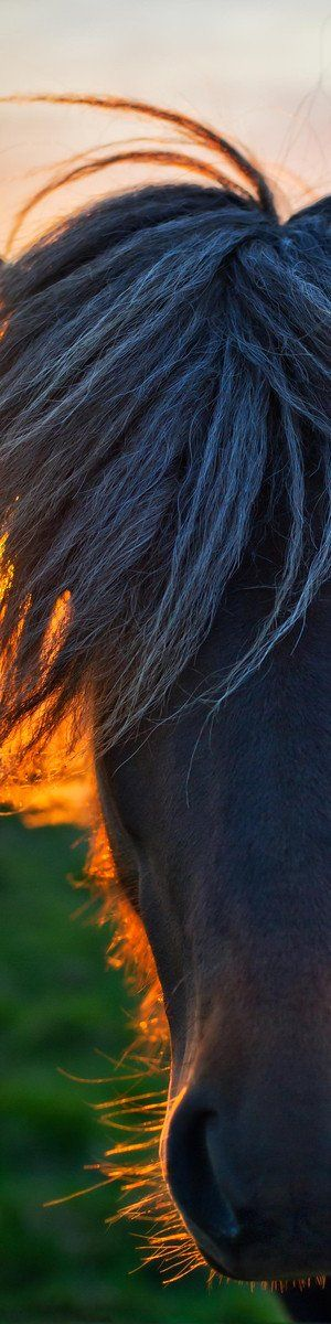 """Wild Icelandic horse...  from the Exhibition: """"Cropped for Pinterest"""" - photo from #treyratcliff Trey Ratcliff at www.StuckInCustom... - all images Creative Commons Noncommercial    I just wish it was a cow"""