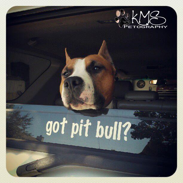 why yes, i do....Girls, Pitt Bull, Pitbulls Animal, Pitbulls 3, Bullying Breeds, Pit Bull, Pitbulls Staffordshire