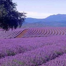 lavender valley in Tihany