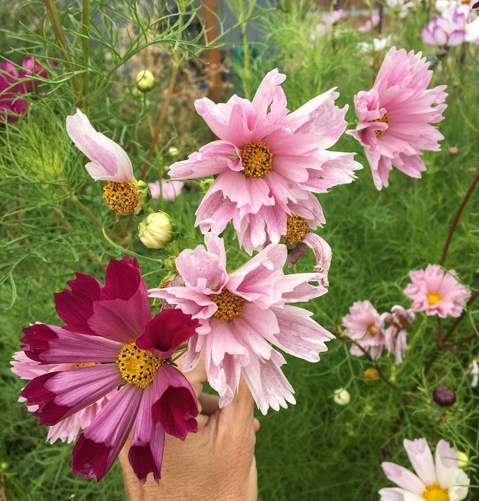 Cosmos Seeds Seashells Cosmos Flowers Garden Flower Seeds Cosmos Flowers