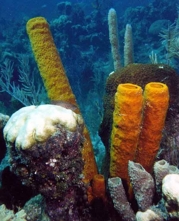 cnidarians | courtesy of: http://richard-seaman.com/Underwater/Belize/StillLifes ...