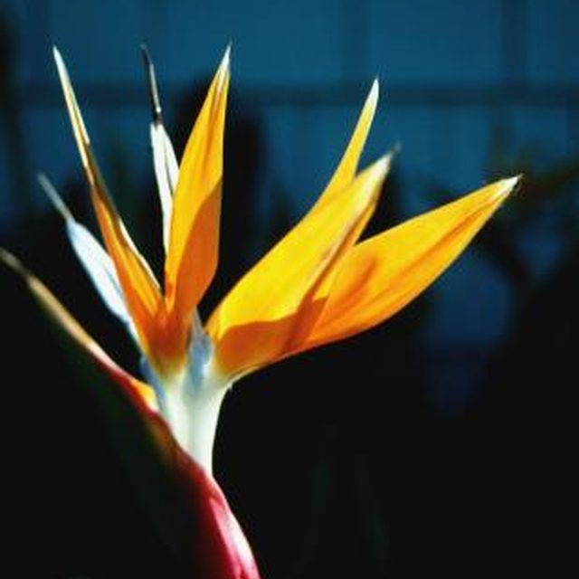 We love Bird of Paradise plants! These fun plants add a splash of color to any garden. Pruning them is an important part of keeping them healthy, so click in to read this care guide from eHow.