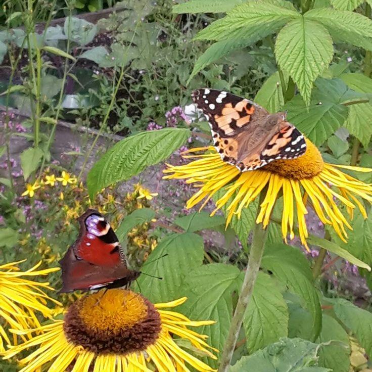 Immer wenn ich Schmetterlinge  im warmen Somnerwind miteinander tanzen sehe, ist es mir, als höre ich Kinderseelen lachen