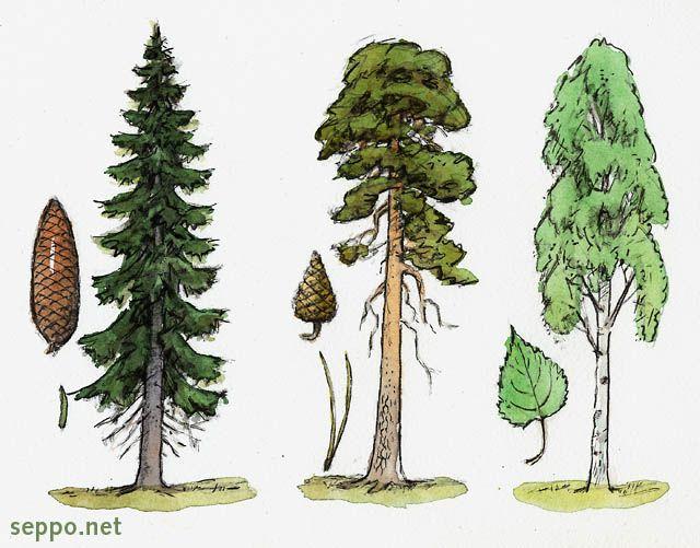Kuusi - mänty - koivu, keywords:  puulaji kuusi mänty rauduskoivu käpy neulanen Picea abies Pinus sylvestris Betula pendula pilapiirros