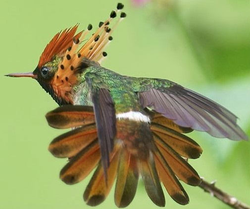 The Tufted Coquette ( Lophornis ornatus ) is a tiny hummingbird that breeds in eastern Venezuela, Trinidad, Guiana and northern Brazil. It is an uncommon but widespread species, which appears to be a local or seasonal migrant, although its movements are not well understood. Tufted Coquettes are tame and approachable.This hummer often resembles a large bee as it moves from flower to flower.