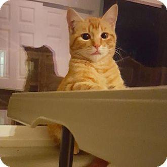 HILLSBORO, OR - Domestic Shorthair. Meet Offered by Owner 'Maximus Aurelius' kitten, a cat for adoption. http://www.adoptapet.com/pet/17052549-hillsboro-oregon-cat