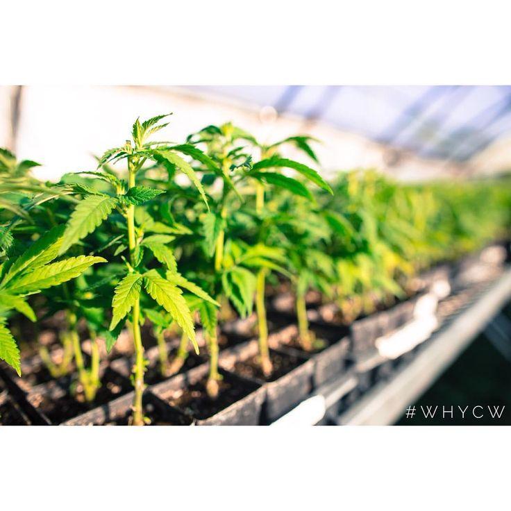 #CharlottesWeb clones! It's #HempHistoryWeek help bring #Hemp back! #Cannabinoids #Natural #Colorado #Wellness #health #ImproveYourLife #CWHemp