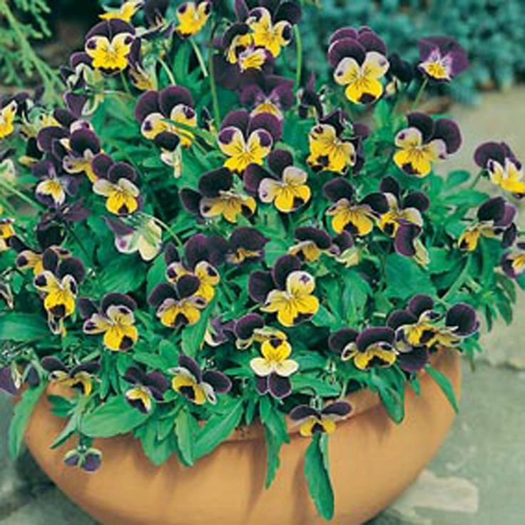 Viola Johnny Jump Up Flower Seeds From D T Brown Flower Seeds Johnny Jump Up Flower Seeds Online