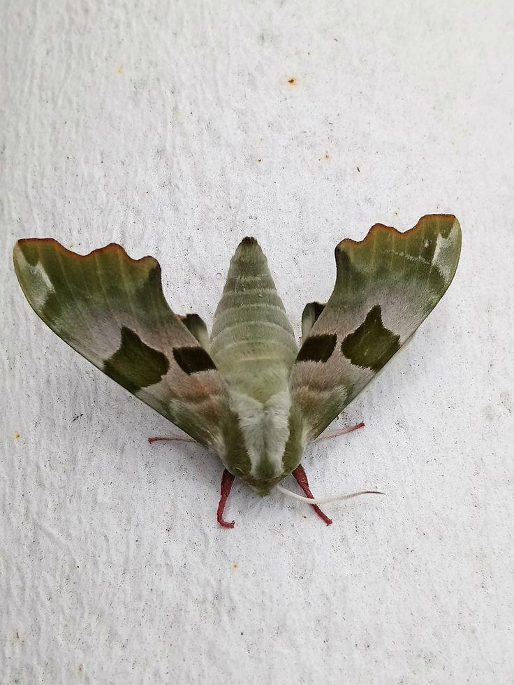 Papillon vert camouflage