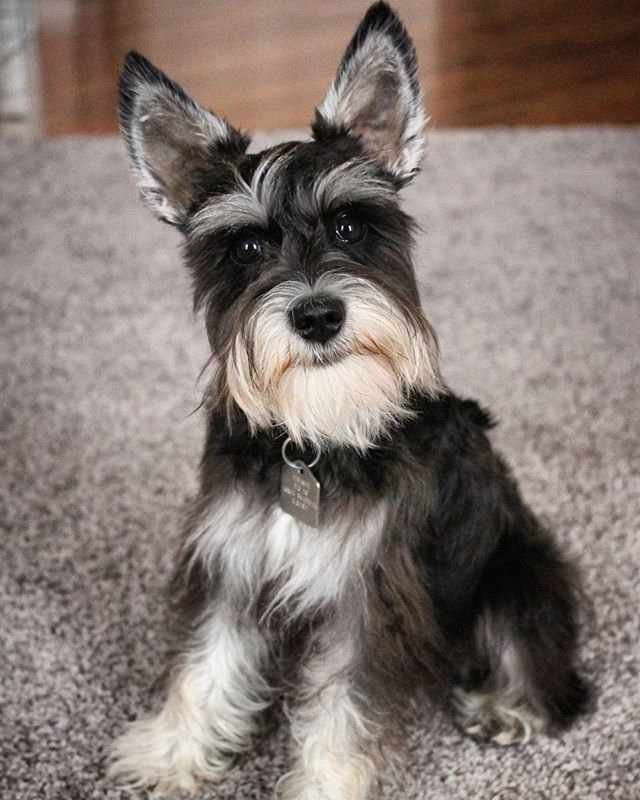 Best Homemade Dog Food For Schnauzers