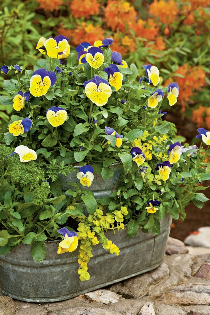 22 Ways to Use Pansies & Violas in Containers in 2020