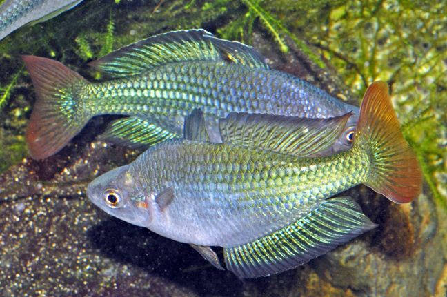 The Australian Rainbowfish Melanotaenia fluviatilis is so named because it is indigenous to Australia. But it is also known by variety of other names including Murray River Rainbowfish, Crimson-spotted Rainbowfish, or Inland Rainbowfish. Their disposition is peaceful but with energy, making the Australian Rainbowfish a perfect inhabitant for a larger tank.