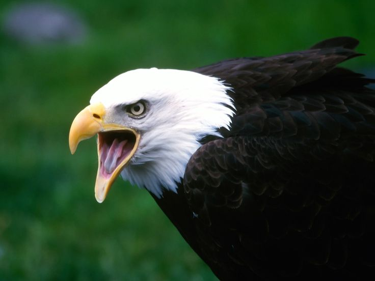 screaming eagle heads | screaming eagle with white a head wallpaper - Before the vague ...