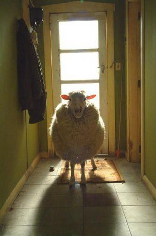 I'm pretty sure this is alive, but I would kill for a stuffed sheep.