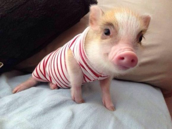 adorable little pig wearing a stripped outfit