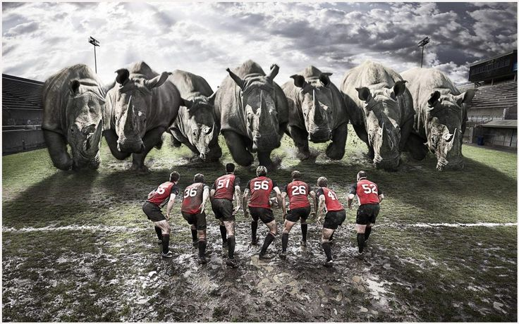 Funny Rugby Team Vs Rhinos Funny Wallpaper | funny rugby team vs rhinos funny wallpaper 1080p, funny rugby team vs rhinos funny wallpaper desktop, funny rugby team vs rhinos funny wallpaper hd, funny rugby team vs rhinos funny wallpaper iphone