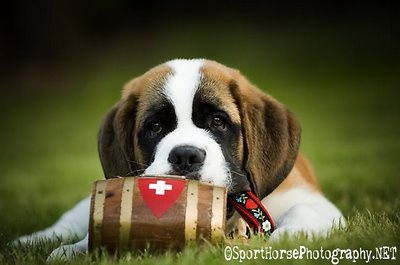 st bernard puppy. oh so adorable