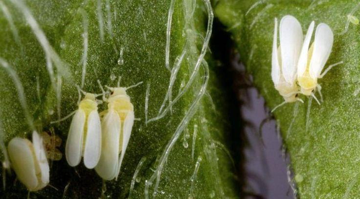 """""""Un insecte cousin du puceron, l'aleurode du tabac, résistant aux pesticides et porteur de virus dévastateurs pour les cultures...""""... http://www.ouest-france.fr/economie/agriculture/une-petite-mouche-blanche-menace-lagriculture-mondiale-4423750"""