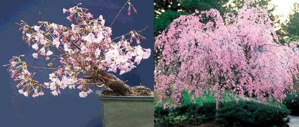 Prunus Subhirtella Pendula SeedsWeeping Higan Cherry Seeds) - See more at: http://www.rarexoticseeds.com/en/bonsai-seeds/prunus-subhirtella-pendula-seeds-weeping-higan-cherry-seeds.html