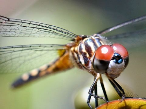 dragonflies pictures - Google Search