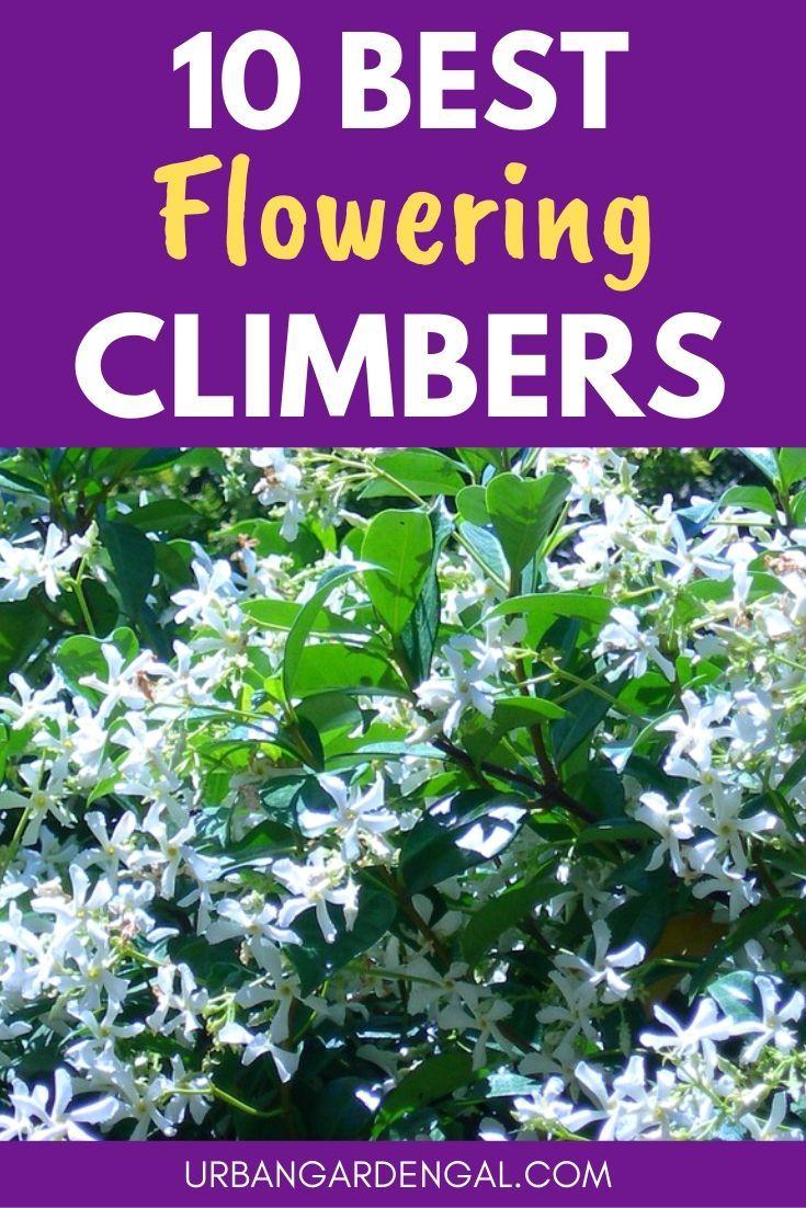 10 Flowering Climbers In 2020 Climbing Plants Trellis Climbing