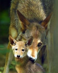 Red Wolf are a siblings of Gray Wolf, but they have a smaller size, now they live in north carolina north east, only left 200 of them