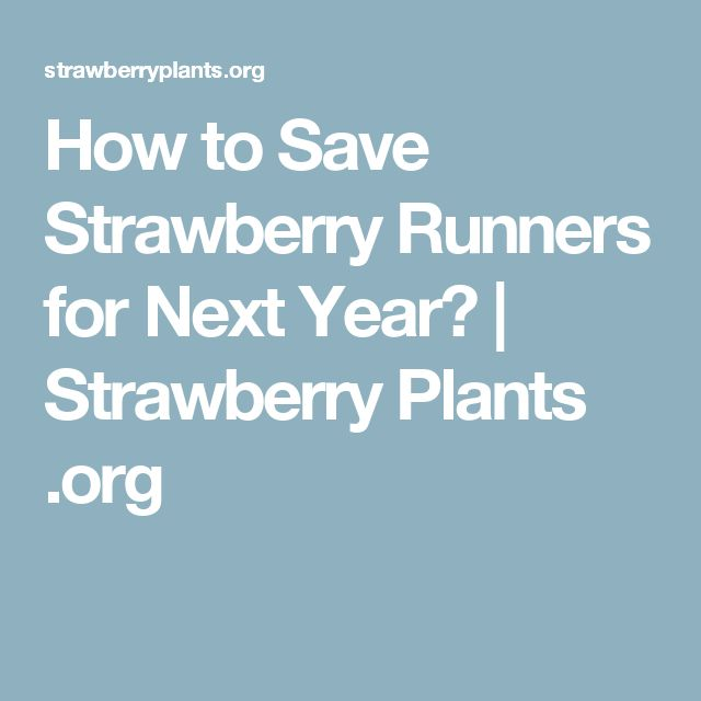 How to Save Strawberry Runners for Next Year? | Strawberry Plants .org