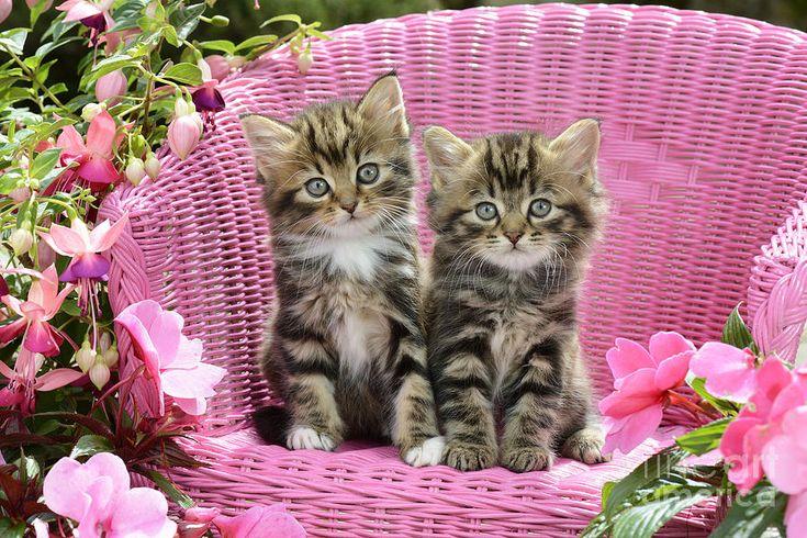 Two Digital Art - Tabby Kittens by Greg Cuddiford