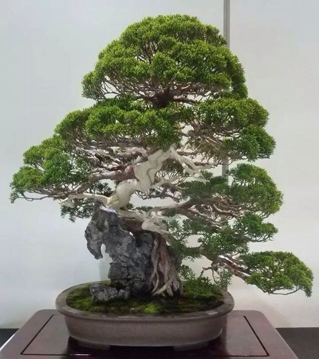 Bonsai bonsai japan pinterest for Bonsai hydrokultur
