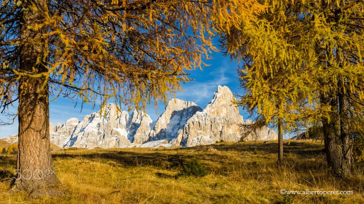 Autumn in the Dolomites - Gold larchs (Larix decidua) and the Pale di San Martino massif.  The DOlomites, region Trentino.