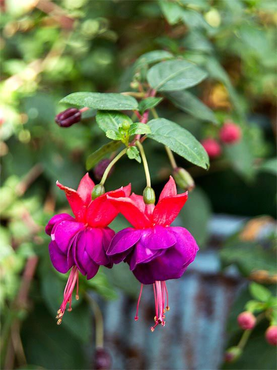 These gorgeous fuchsias are perfect for hanging baskets! More shade-loving annuals: http://www.bhg.com/gardening/flowers/annuals/top-shade-loving-annuals/?socsrc=bhgpin061913fuchsia