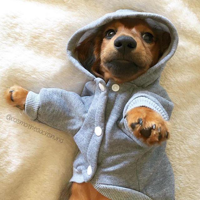 Proper gangsta aight ❤️ great pic @cosmothedachshund #dachshund…