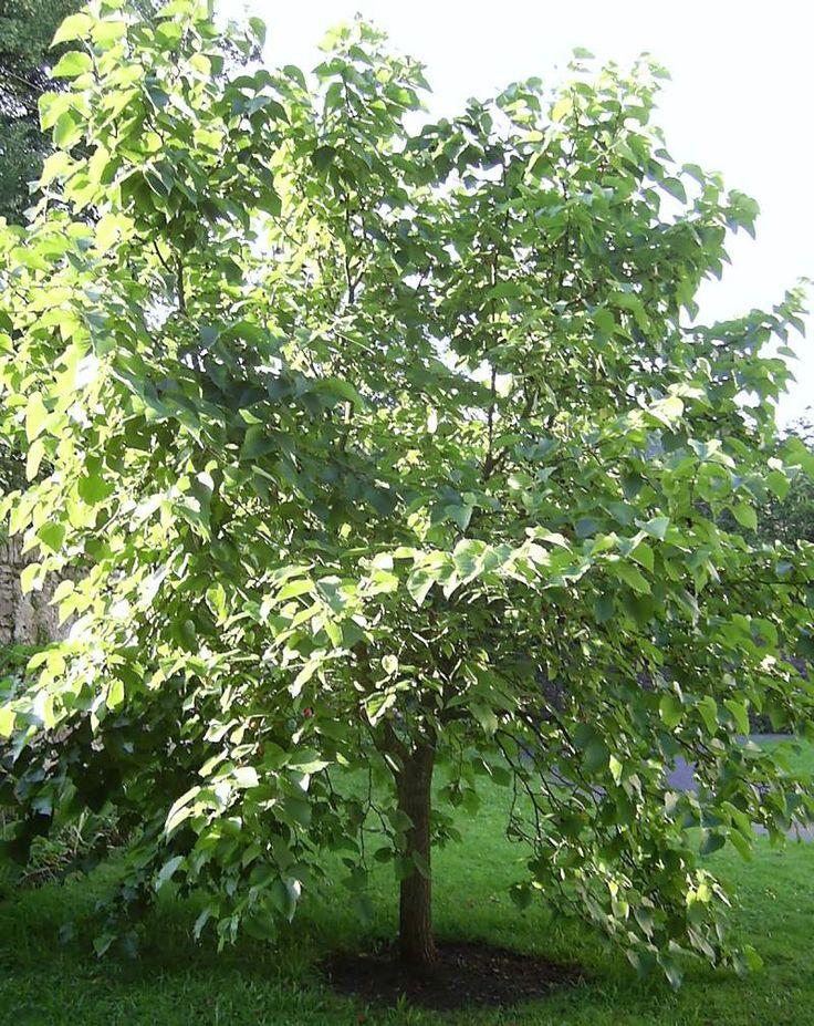Morus Alba - Witte Moerbei http://pratec.nl/product-categorie/bomen/?filtering=1&filter_latijnse-naam=117 De moerbei is op oudere leeftijd een heel karakteristieke boom met een mooie, knoestige stam.