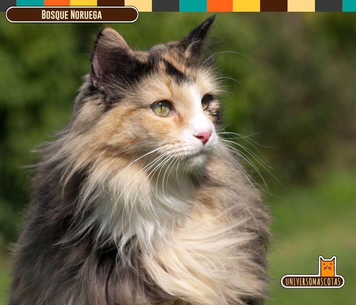 Origen: Noruega Longevidad: Cerca de 15 años. Conoce más de este musculoso fuerte y peludo felino en: http://www.universomascotas.co/razas/gatos/bosque-de-noruega/32