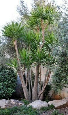 Tall yucca tree tropical feel where palm trees won't grow ... pool landscapes
