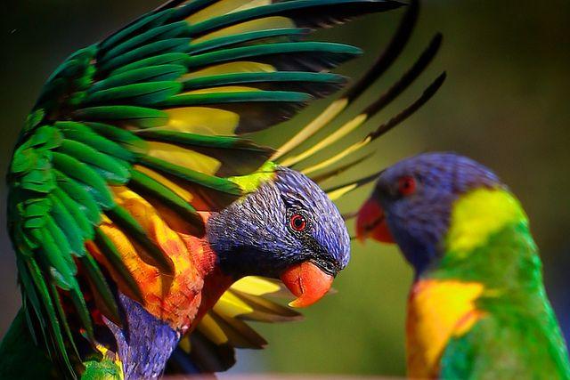 Colour!! 1DX - Rainbow Lorikeets [Explore #6] by Vanessa Mylett, via Flickr