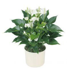Anthurium Mini Putih Rp 61,000
