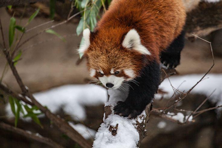 Animaux - Panda Roux  Chicago Zoo Fond d'écran
