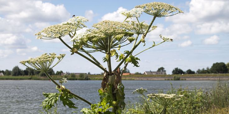 Health officials are warning people in Michigan and the northeast to stay away from the giant hogweed plant, which can cause 3rd-degree burns!