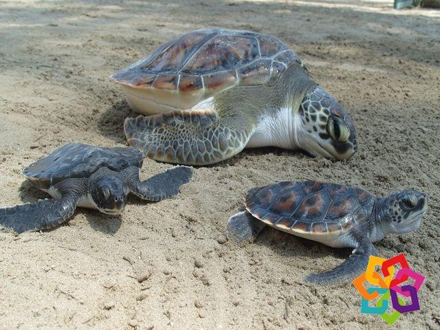 MICHOACÁN MÁGICO. La playa de Ixtapilla es un excelente lugar para ver a las tortugas que llegan en los meses de octubre y noviembre. Las extensas playas de arena oscura se llenan de cientos de estas bellas tortugas que llegan a desovar. Sin duda, este es uno de los milagros más espectaculares de la naturaleza que no debe perderse en su próxima visita a Michoacán. BEST WESTERN DON VASCO PÁTZCUARO http://www.bwposadadonvasco.com.mx/