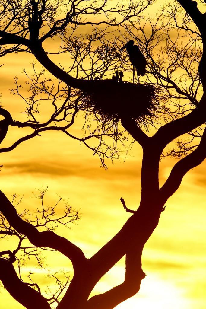 Ao entardecer, aves pantaneiras fotografadas em seu ninho no estado de Mato Grosso, Brasil.  Fotografia: Alaor Filho.  http://fotospublicas.com/imagens-brasil/olhares-do-brasil-pantanal-por-alaor-filho/